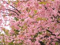 Sakura03_2