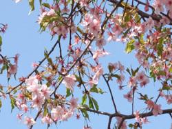 Sakura07r1